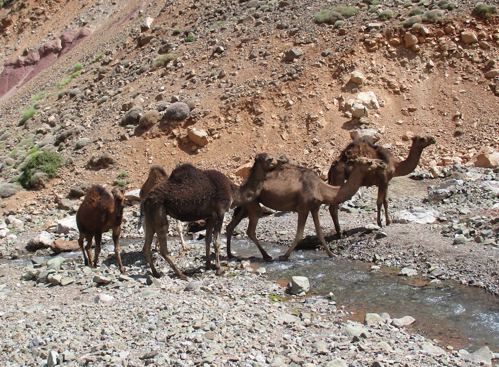More camels down at the river, photo by Judy Renshaw